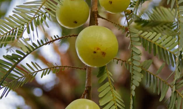 Die Amla-Frucht