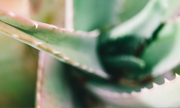 Aloe Vera – Wie ein Wunder