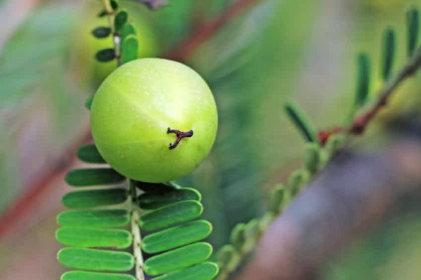Es ist eine Nahaufnahme einer Amla Frucht am Baum zu sehe. Sie ist rund und sehr grün. Der Ast an dem die Frucht hängt hat kleine, symetische Blätter.