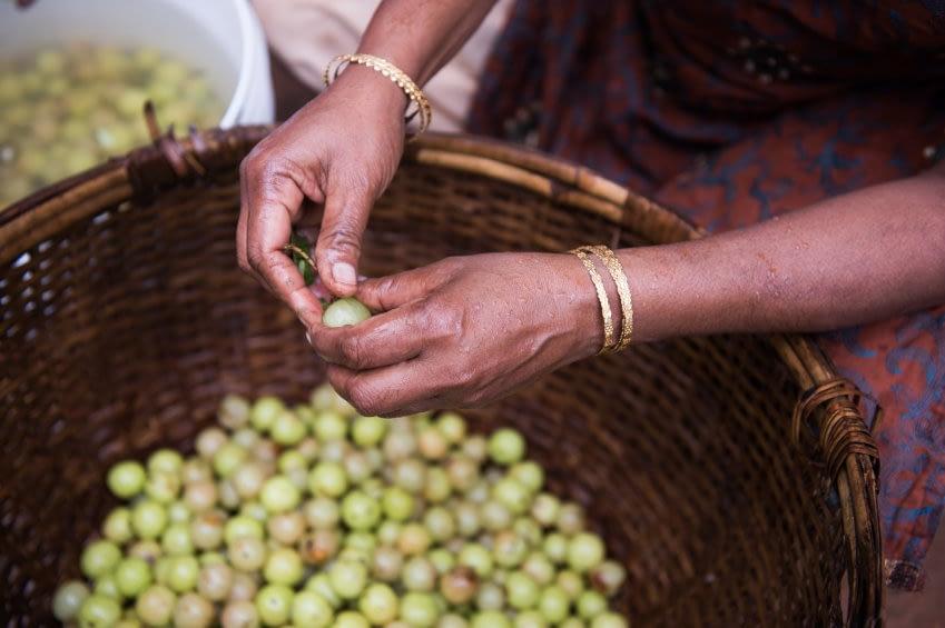 indische Bäuerin sammelt frische Amla-Früchte in einem Korb
