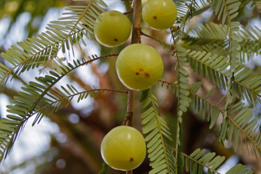 Man sieht vier Amlafrüchte an einem Baum hängen.